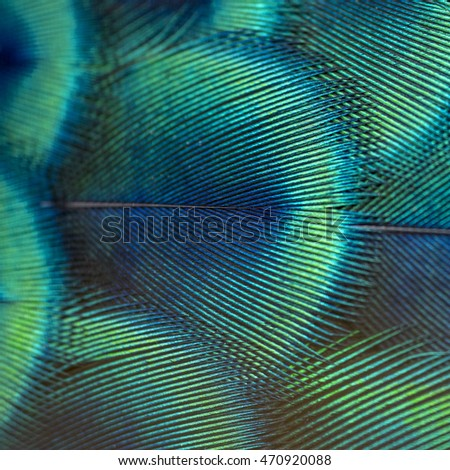 close-up peacock feathers ,Beautiful feather bird - Shutterstock ID 470920088