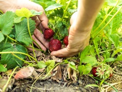 close up person gathering strawberry berries growing in garden