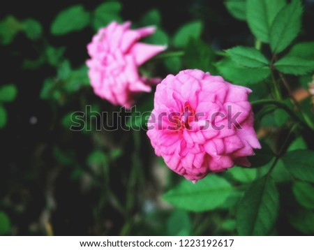 Close up phoro on pink rose #1223192617