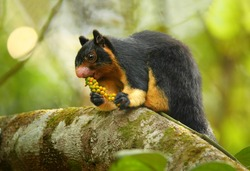 Close up photo black and yellow Sri Lankan Giant Squirrel, Ratufa macroura sitting on branch and feeding on fruit berries holding in front paws. Green blurred leaves in background, Sri Lanka.