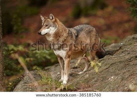Close up photo Eurasian wolf, Canis lupus standing on rock and staring to the orange colored autumn forest, side view. East Europe.