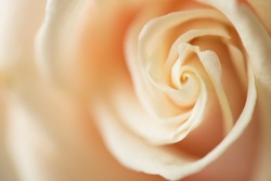 Close up photo image of creamy delicate beautiful rose flower