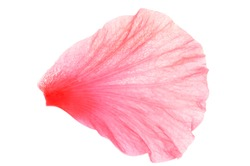 Close up photo image of pink hibiscus or chinese rose petal isolated on white background, flowery pattern, abstract leaf texture