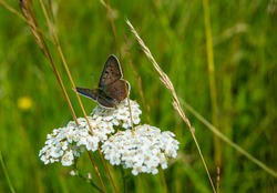 Close-up photo of a butterfly on white yarrow on green background