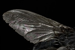 Close up photo of a common bluebottle fly (Calliphora vomitoria) wing, isolated on black background