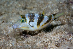 Close-up photo of a crown puffer on the seafloor.