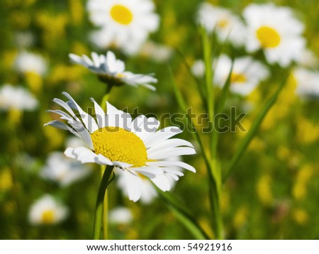 close up photo of a daisies with shallow depth of field