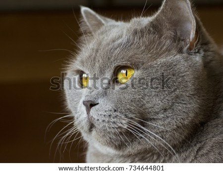 Stock Photo Close-up photo of a gray cat's head with yellow eyes on a blurred background