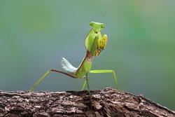 Close up photo of a Green praying mantis (Mantis religiosa)