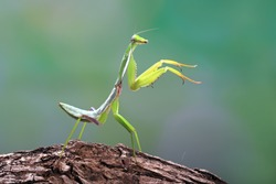 Close up photo of a Green praying mantis (Mantis religiosa)