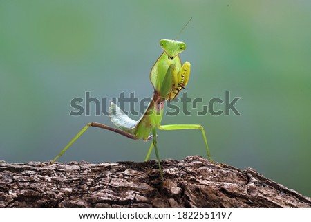 Close up photo of a Green praying mantis (Mantis religiosa) Foto stock ©