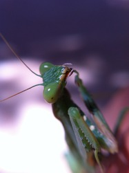 Close up photo of a Green praying mantis (Mantis religiosa). Close up shot with macro lens and artificial light of a Mantis, also called praying mantis, on natural background.