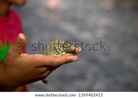 Close up photo of a hand of a young Tunisian boy holding chameleon in the medina in Sousse, Tunisia