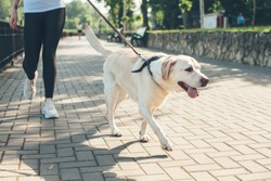 Close up photo of a labrador walking with his owner in the park in a sunny day