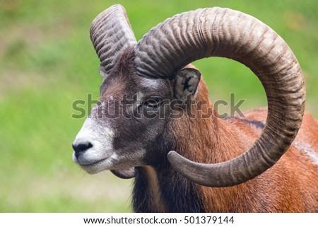 Close up photo of a Mouflon Sheep (Ovis musimon).