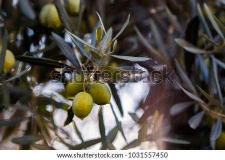 Close up photo of a pair of mediterranean olives, on green bokeh background. Makro photo of an olive tree with some riping olives.