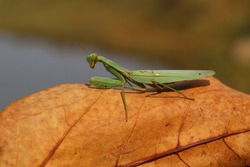 Close up Photo of a praying mantis (Mantis religiosa) giant African mantis or bush mantis in nice blur background insect wallpaper