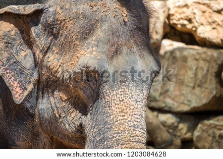 Close up photo of  Asian or Asiatic elephant at zoo #1203084628