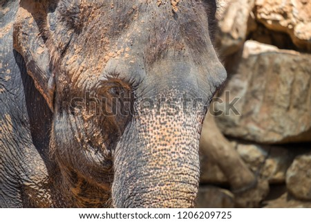 Close up photo of Asian or Asiatic elephant at zoo #1206209725