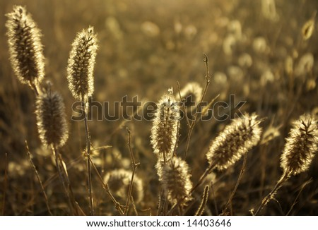 Close-up photo of back-lighted wild spikes in summer afternoon