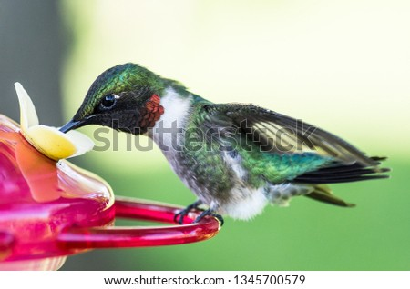 Close-up photo of beautiful male ruby-throated hummingbird resting on and drinking from hummingbird feeder.  Select shallow focus with blurry background.