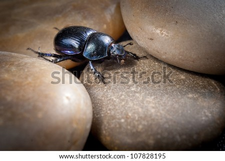 close-up photo of big female stag-beetle on stones