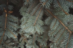 close-up photo of blue spruce branches. approach of winter. coniferous trees