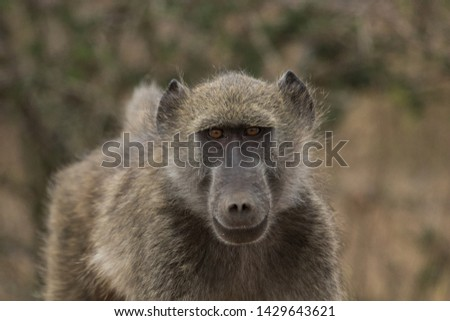 Close up photo of Chacma baboon (also known as Cape baboon) looking directly at the camera, in the Kruger National Park, during winter time in South Africa.