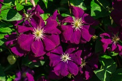 Close-up photo of Clematis