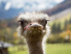 Close-up photo of common ostrich' beak looking in to the lens. The common ostrich (Struthio camelus) or simply ostrich, is a species of large flightless bird native to certain large areas of Africa.
