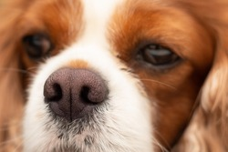Close up photo of dark pink dry dog nose. Front view of dog head resting on table. Focus on nose. Relaxed red orange long hair cavalier king charles spaniel. Concept for superior sense of smell.