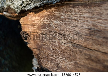 Close up photo of fallen tree with bark etchings from bugs #1326014528