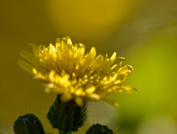 Close-up photo of flowering dandelion (Taraxacum officinale), with interesting light, shadow and colour interplay on the background