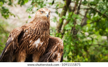 Close-up photo of golden eagle Aquila Chrysaetos. It is one of the best-known birds of prey