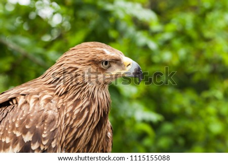 Close-up photo of golden eagle Aquila chrysaetos, one of the best-known birds of prey