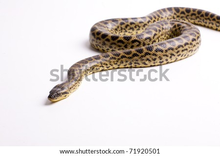 Close up photo of huge and dangerous anaconda snake (Eunectes murinus) ready to attack on white background isolated, a lot of copyspace available, macrophotography
