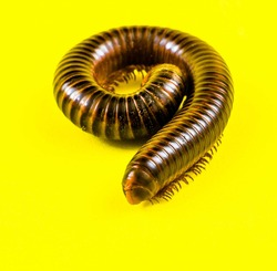 Close Up Photo Of Invertebrates. Millipede Animal In The Studio On A Yellow Background. Millipedes With A Cylindrical Body And Brownish Color.