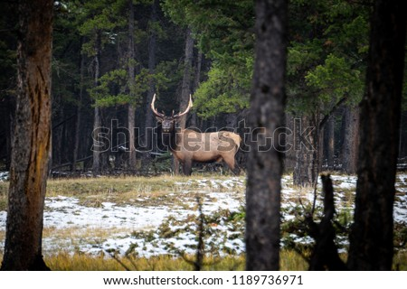 Close up photo of large elk roaming in the forest of Banff National Park in Alberta, Canada near the Banff Springs Hotel