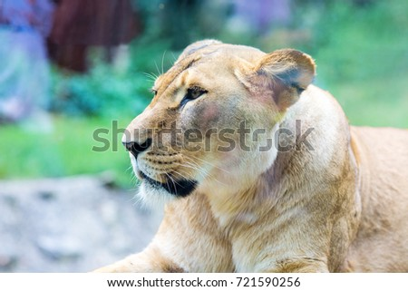 Close-up photo of lioness lying on the ground in the zoo #721590256