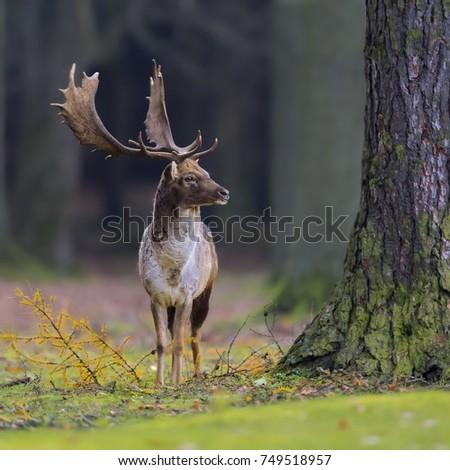 Close-up photo of majestic deer during the rut. Fallow deer, Dama dama. Czech Republic.