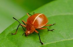 Close up photo of orange beetle from Amazon Rainforest