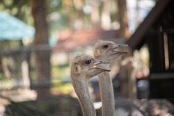 Close up photo of Ostrich face
