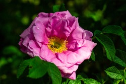 Close-up photo of pink Rugosa Rose flower at green background where bug is eating nectar in yellow center; sun is shining, bugs are buzzing and rose fragrance surrounds you