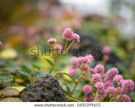 Close up photo of Polygonum capitatum
