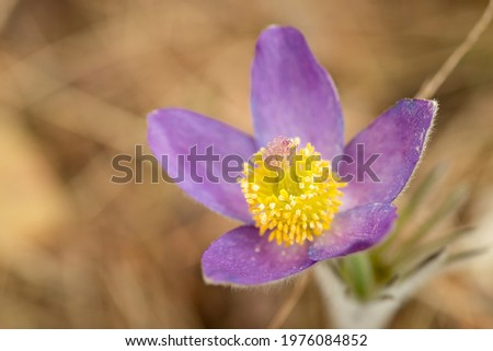 Close-up photo of Pulsatilla patens or Anemone patens blooming in the forest. Macro shot of early flower Pulsatilla patens in the morning light Stok fotoğraf ©