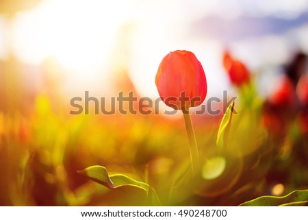 Close up photo of red tulip flower on blurred lensflare background with copy space area for a text.