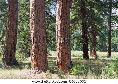 Close-up photo of several trees in Yosemite; USA