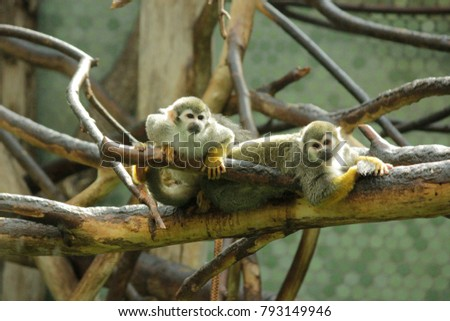 Close up photo of squirrel monkeys