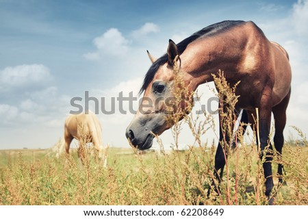 Close-up photo of the brown horse feeding in the steppe. Another horse at the background. Kazakhstan, Middle Asia. Natural colors and light