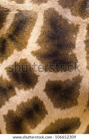 close-up photo of the giraffe skin texture